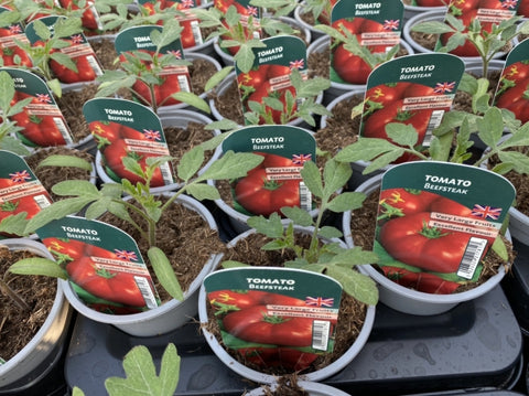Tomato Beefsteak 9cm Pots British Grown Recyclable Pots X 3