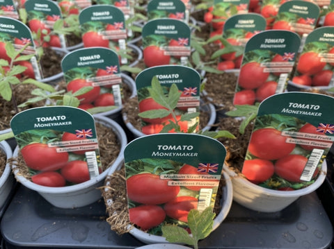 Tomato Moneymaker 9cm Pots British Grown Recyclable Pots X 3