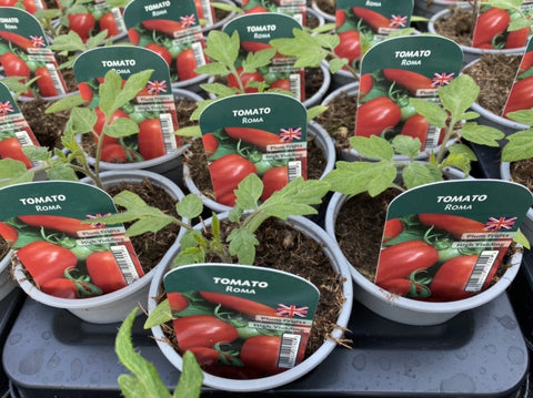 Tomato Roma 9cm Pots British Grown Recyclable Pots X 3