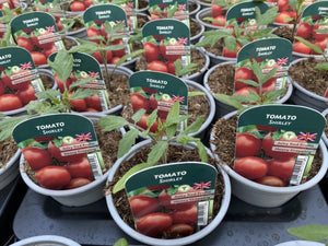 Tomato Shirley 9cm Pots British Grown Recyclable Pots X 3