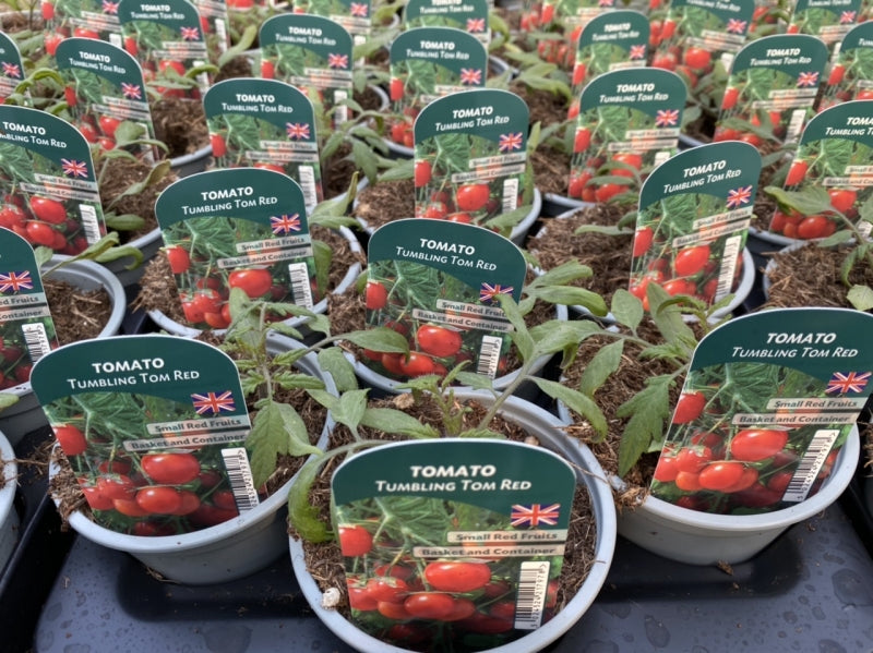 Tomato Tumbling Tom Red 9cm Pots British Grown Recyclable Pots X 3