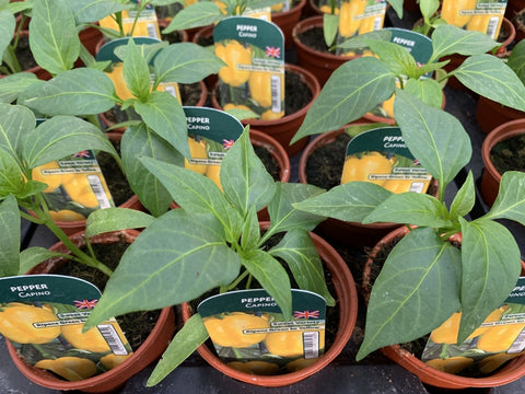 Pepper Capino 9cm Pots British Grown Recyclable Pots x 3