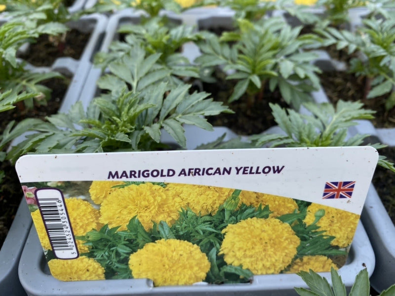 African Marigold Yellow 12 Plants 2 x 6 pack
