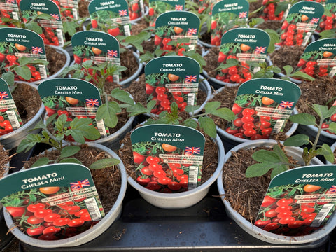 Tomato Chelsea Mini 9cm Pots British Grown In Recyclable Pots x 3