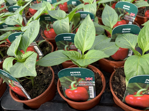 Pepper Bendigo 9cm Pots British Grown Recyclable Pots x 3