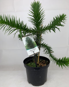 Monkey Puzzle Tree 3L Pot