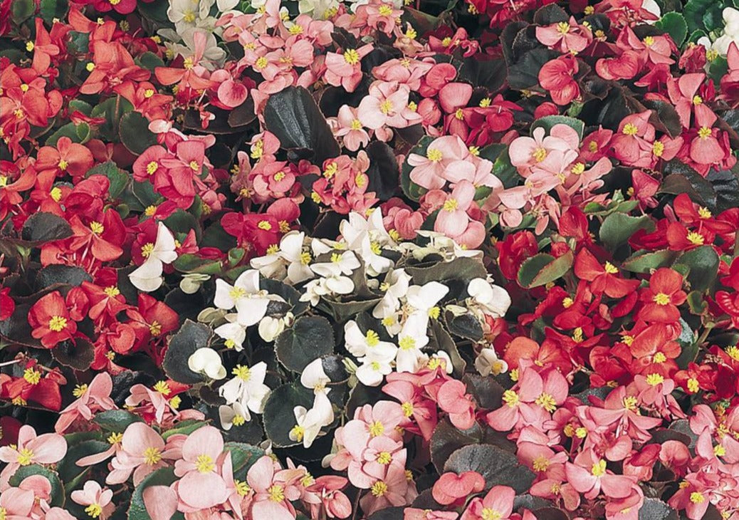 2 X Begonia Semperflorens Mixed 6 Pack (12 Plants)