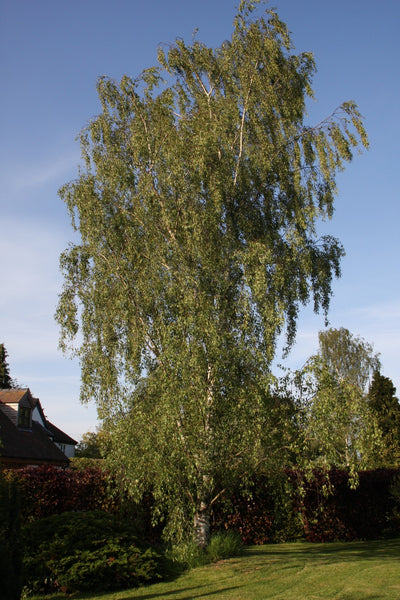 5-6ft Betula pen Dalecarlica | 12L pot | by Frank P Matthews
