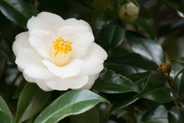 Camellia Japonica White in Tin Bucket