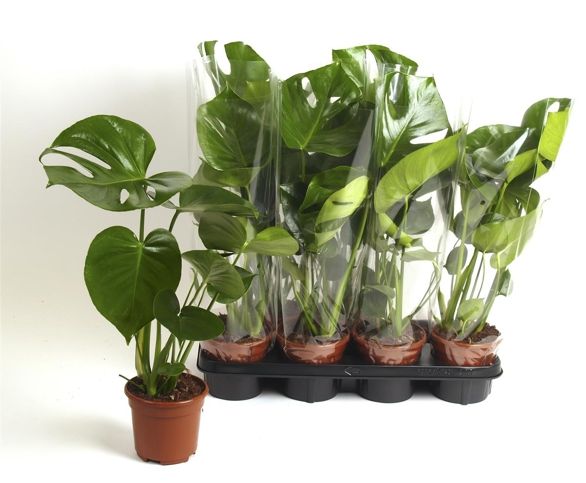 Monstera Cheese Plant 14cm Pot