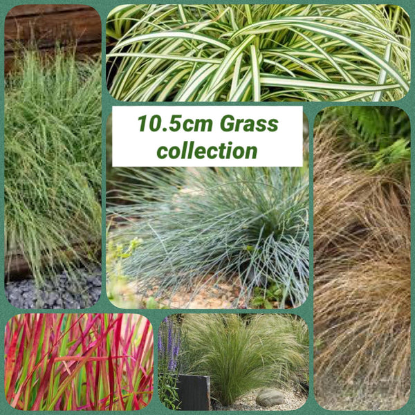 Grass Collection Mixed 10.5cm Pots