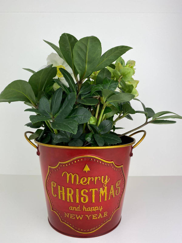 Hellebore Christmas Carol in 12cm Merry Christmas Pot Gift