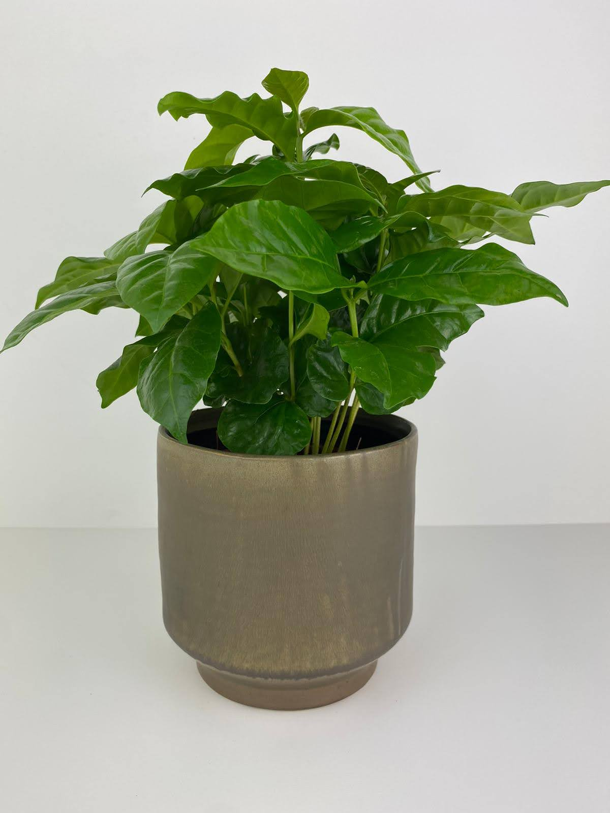 Coffee Arabica 12cm Pot Gift