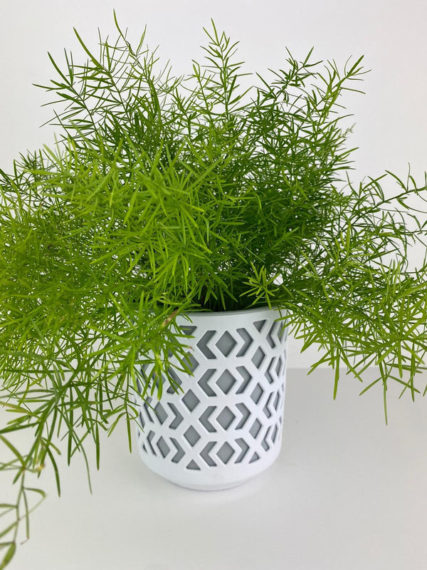 Asparagus Fern in Patterned 12cm Pot Gift
