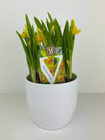 Narcissus Tete a Tete potted bulbs Gift