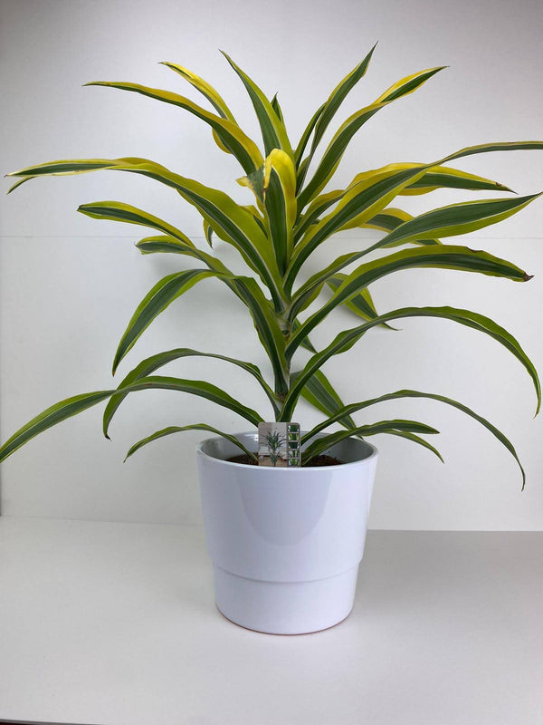 Dracaena Lemon And Lime 12cm Pot Gift