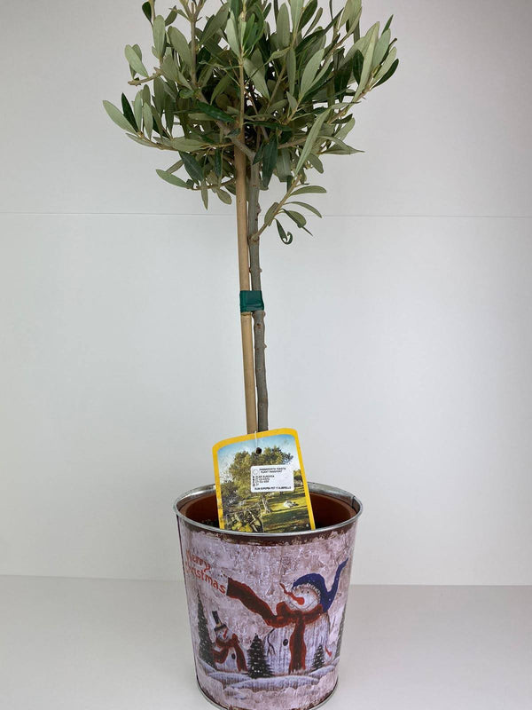 Olive Tree in Christmas Snowman Tin Pot Gift