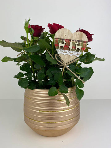 Red Rose Miniature in 12cm Gold Pot Gift