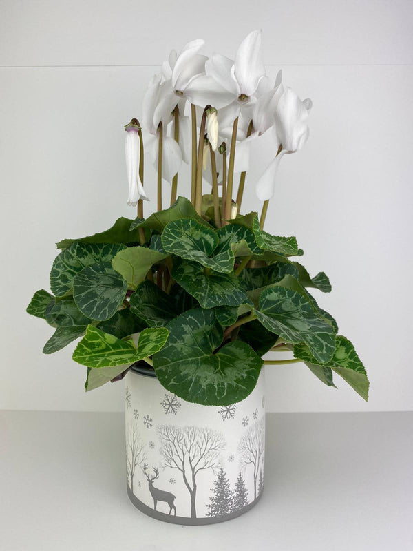 White Cyclamen in Winter Woodland 12cm Pot Gift