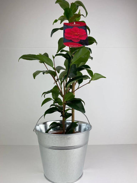 Camellia Japonica Red in Tin Bucket