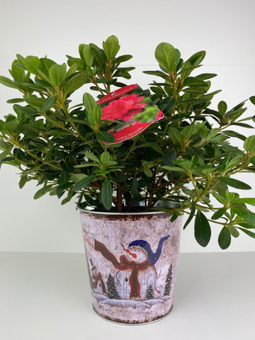 Azalea Japonica Red in 12cm Snowman Tin Gift