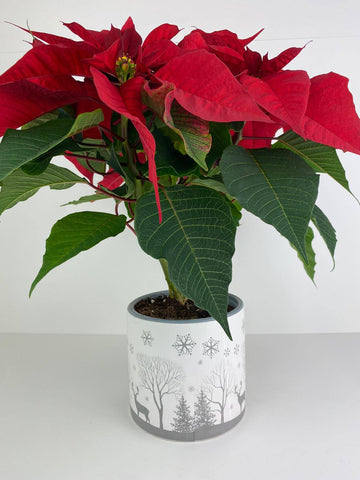 Poinsettia Red in 13cm Winter Woodland Pot Gift