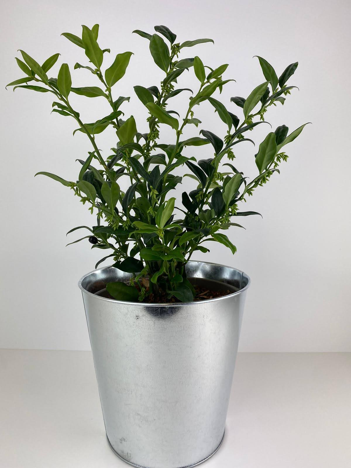 Sarcococca sweet box 12cm pot Gift