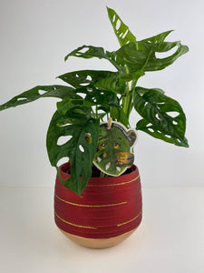 Monkey Cheese Plant 12cm Red & Gold Pot Gift
