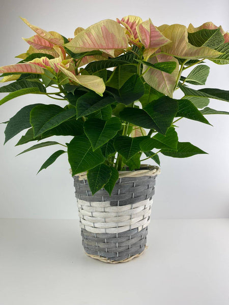 Poinsettia Marble in 13cm Grey & White Wicker Pot Gift