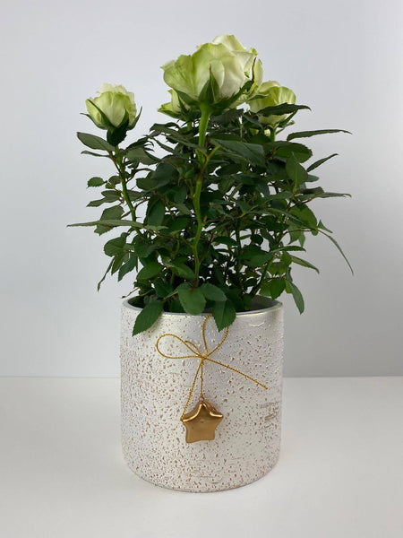 White Rose Miniature in 12cm Decorative Pot Gift