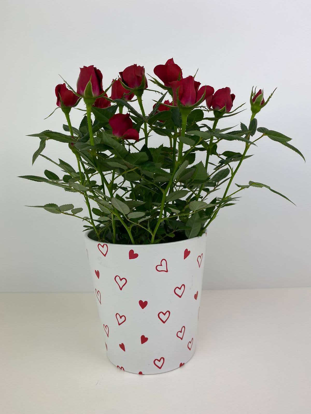 Red Rose Miniature in 12cm decorative pot Gift