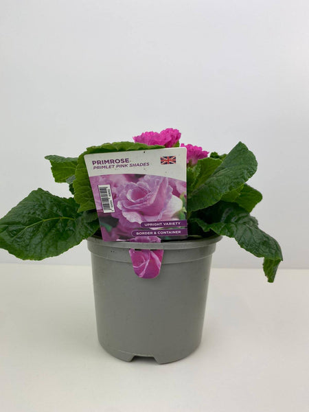 Primlet Shades of Pink 1 litre