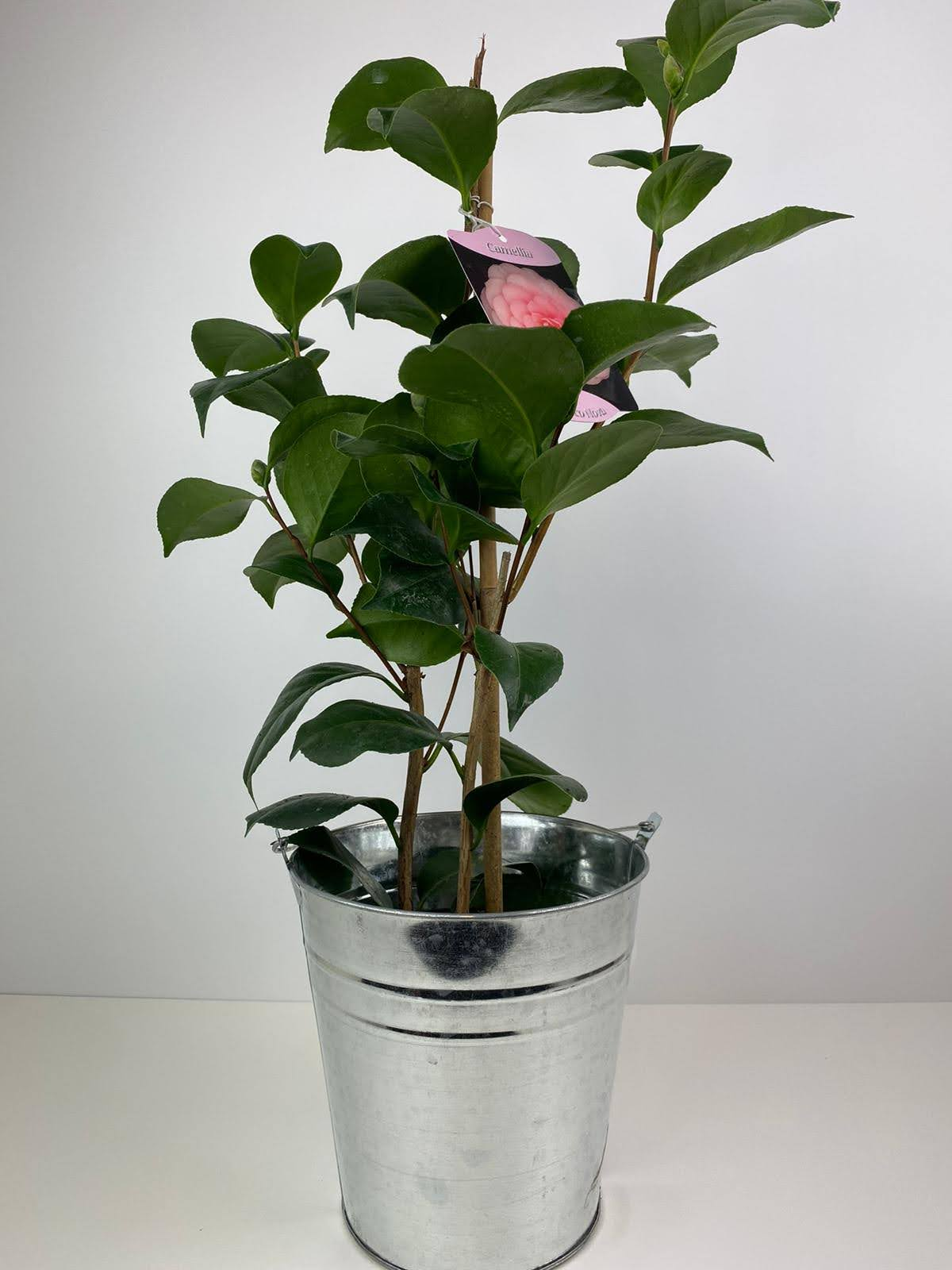 Camellia Japonica Pink in Tin Bucket