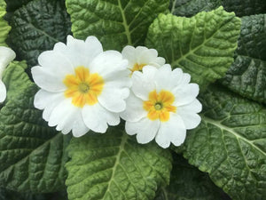Primrose White Bundle 9cm Pot x 3