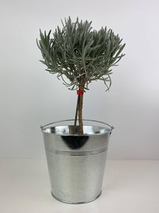 Lavender Tree 40cm in Galvanised Display Bucket