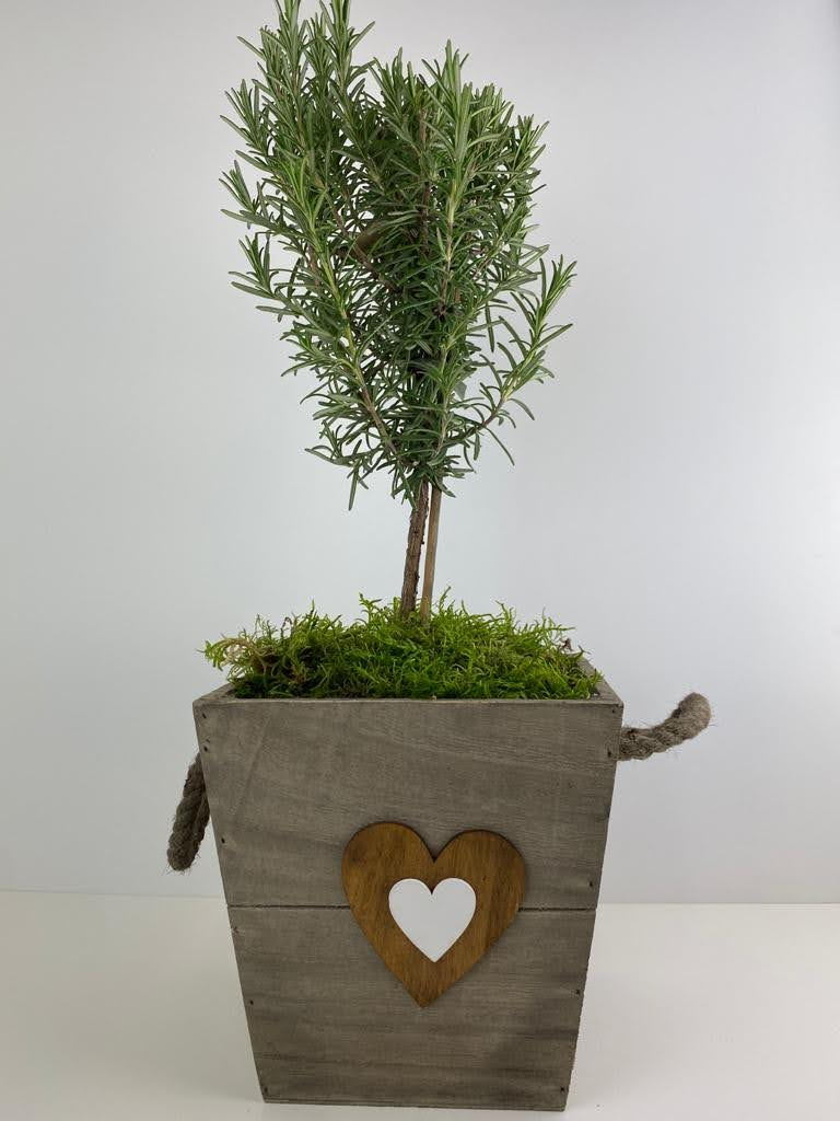 Rosemary Tree 45cm in Decorative Wooden Pot