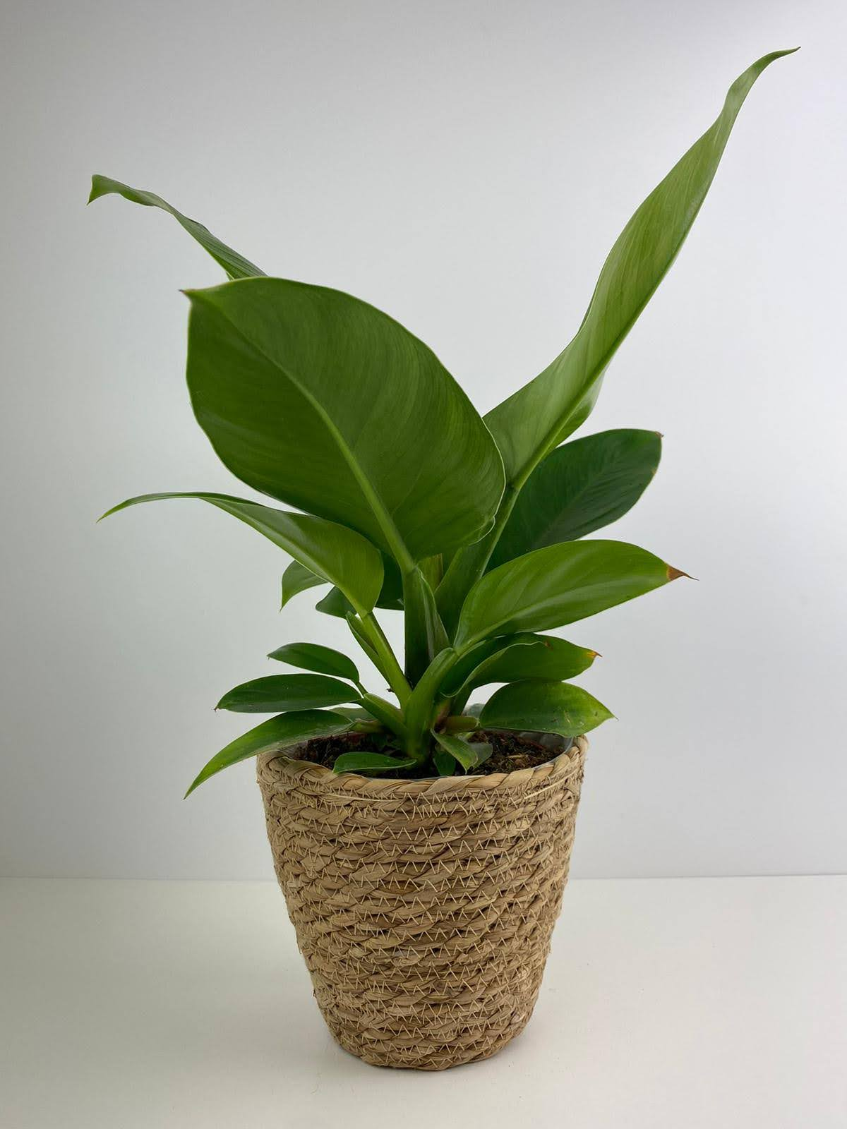 Philodendron Imperial Green 12cm Sea Grass Pot