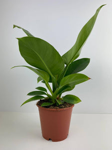 Philodendron Imperial Green 12cm Pot