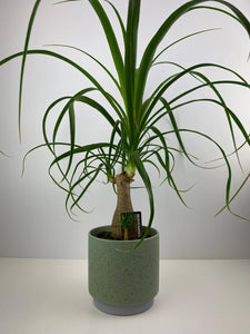 Beaucarnea Ponytail Palm in 12cm Speckle Green Pot