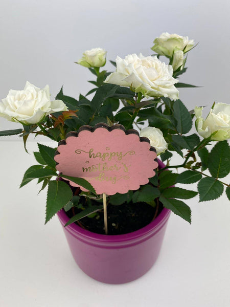 Mothers Day White Rose in Decorative Pot