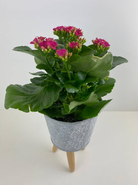 Kalanchoe Pink in 10.5cm Decorative Footed Pot