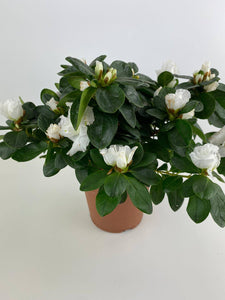 Azalea White in 12cm Pot