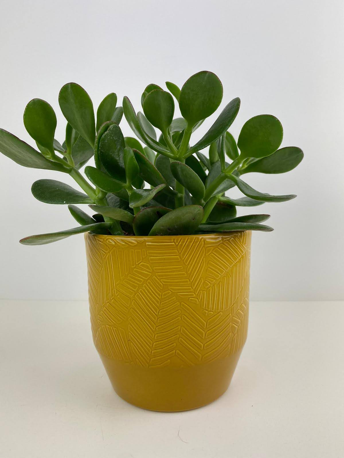 Crassula Money Plant 12cm Mustard Leaf Pot