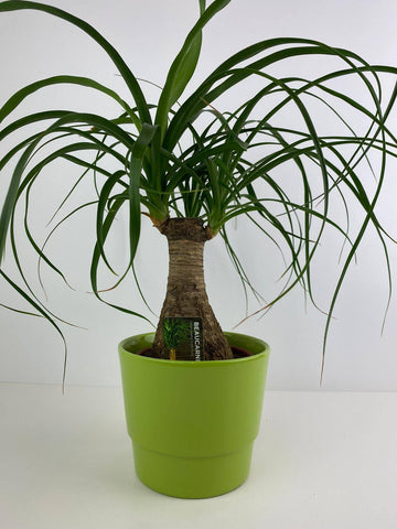Beaucarnea Ponytail Palm in 12cm Green Pot