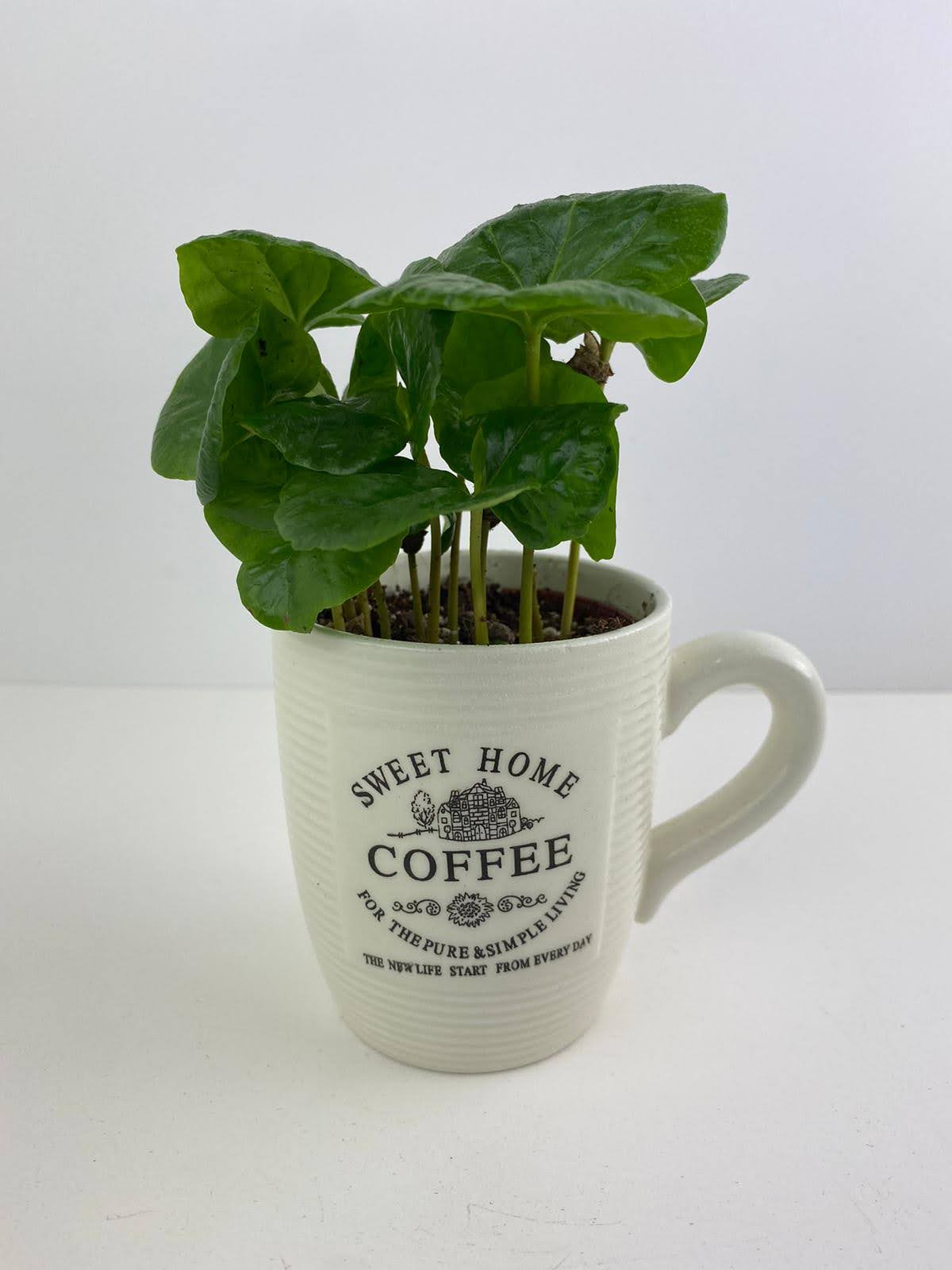 Coffee Arabica 7cm in Cup