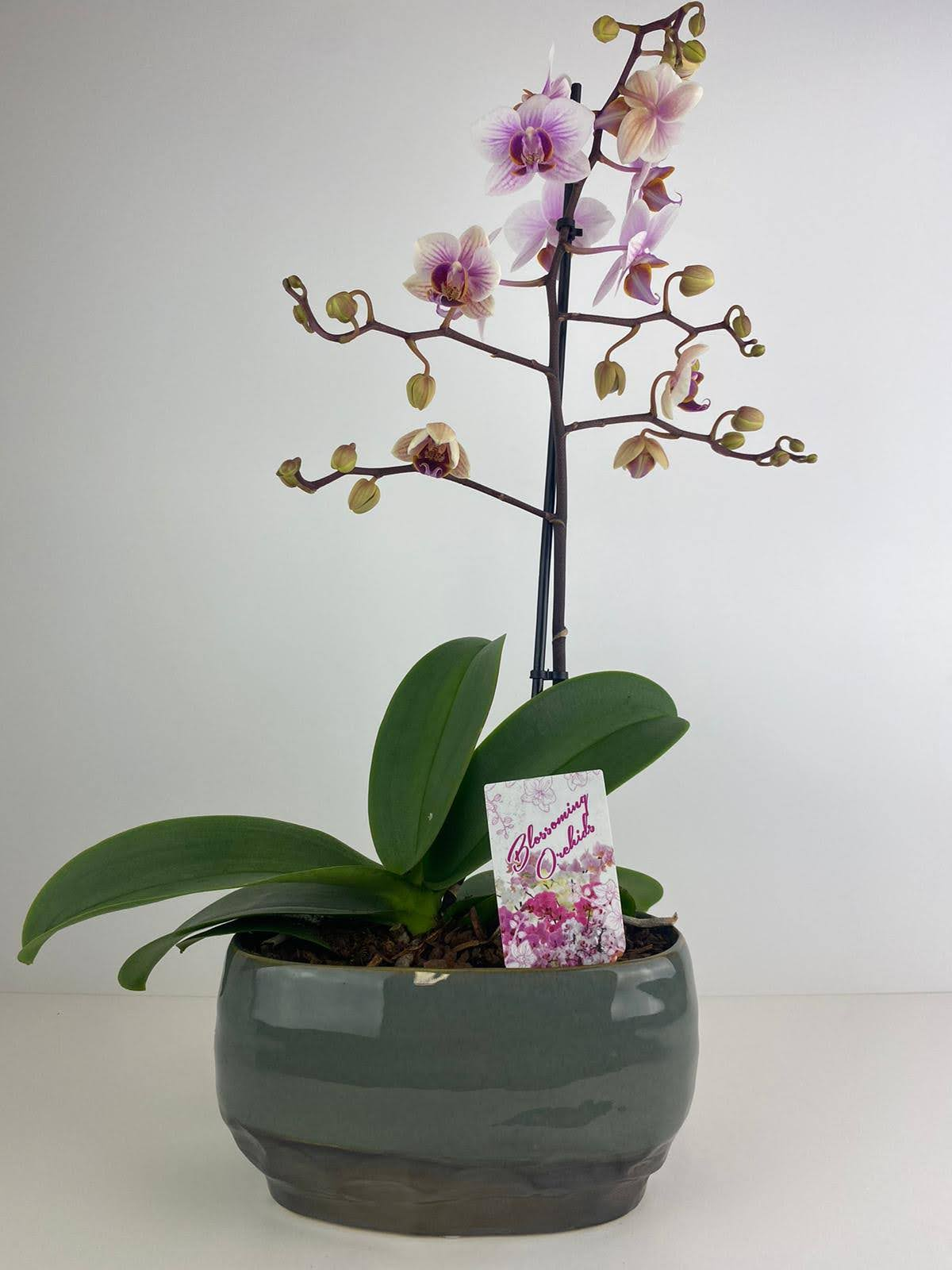 Orchid Phalaenopsis in Dulo Ceramic Trough