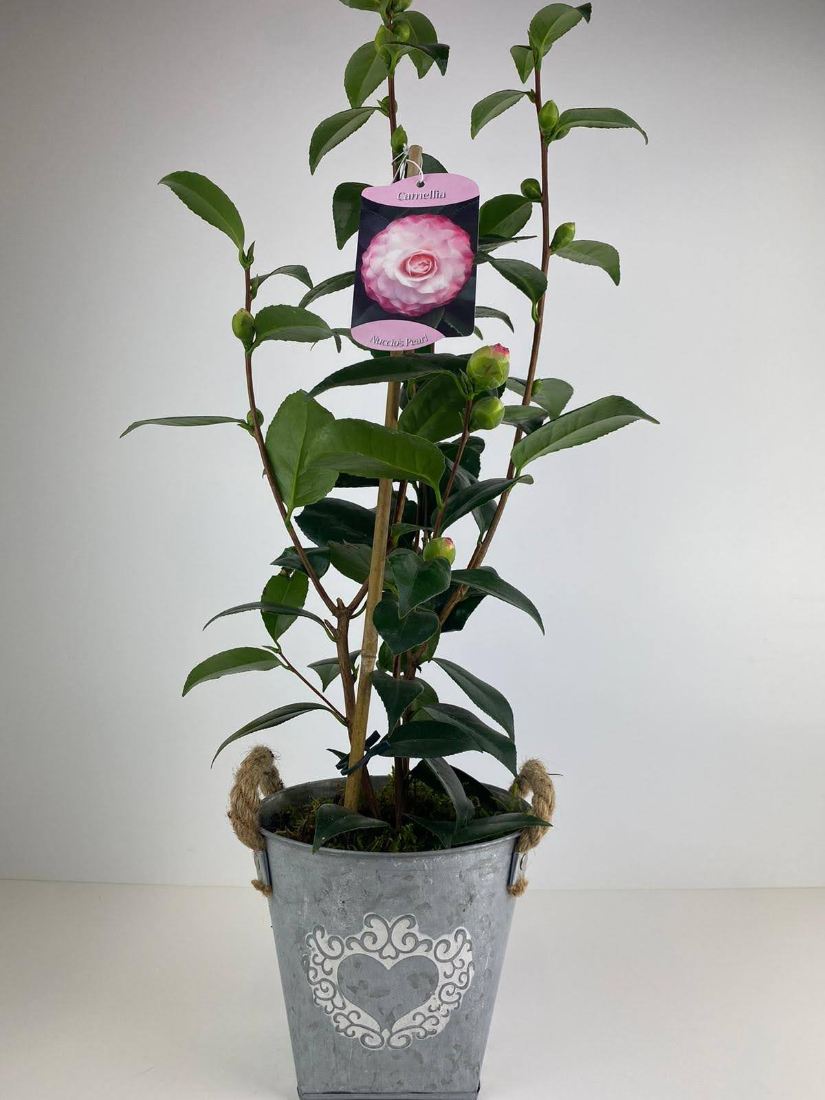 Camellia Pink Bicolour in Metal Heart Planter