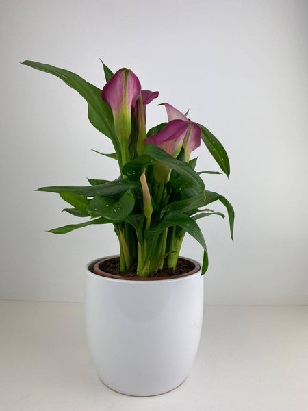 Zantedeschia Calla Lily Pink 12cm in White Ceramic Pot