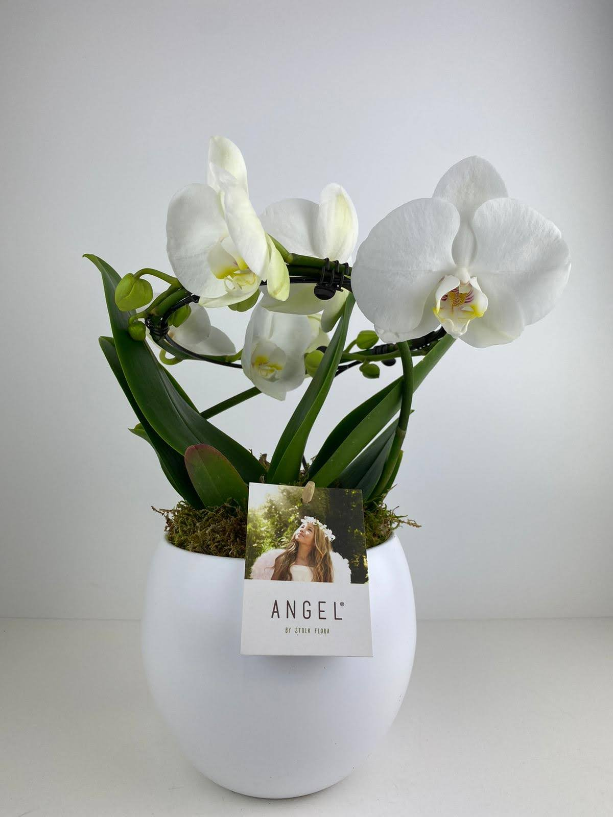 Orchid Phalaenopsis Angel in Matt White Pot