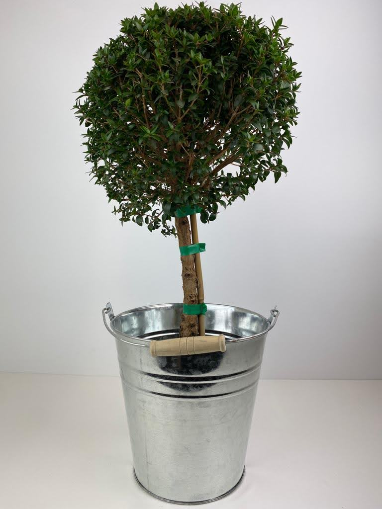 Myrtus Communis in Metal Bucket